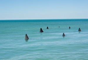 shark fins in water